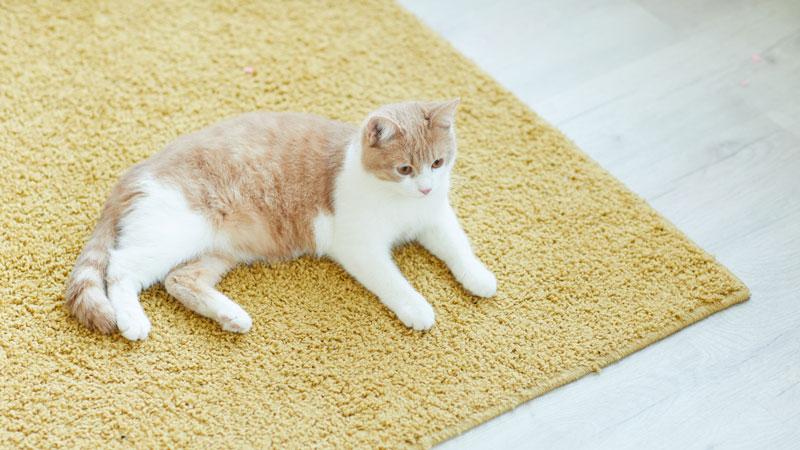 ラグの上でくつろぐ猫のイメージ写真